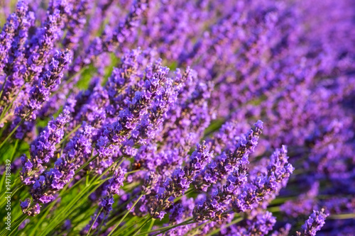 Fotobehang Lavendel Blooming lavender in the field, Provence, Plateau de Valensole, France