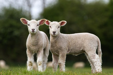 Pair Of Cute Lambs Looking At ...