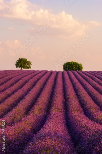 In de dag Crimson Lavender field at sunset, nature vertical background, Provence, Plateau de Valensole, France