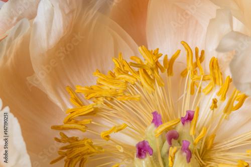 Photo Yellow anther peony flower macro still