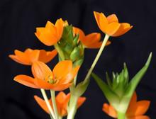Ornithogalum Dubium, Orange Star Of Bethlehem Blooming