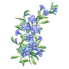 Periwinkle. Illustration Of Composition First Spring Wild Flowers - Vínca Mínor. Hand Drawn Watercolor Painting On White Background.