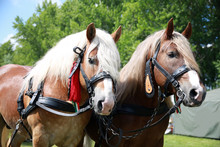 Cold-blooded Horses In Front Of The Horse Carriage