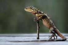Shifu Lizard