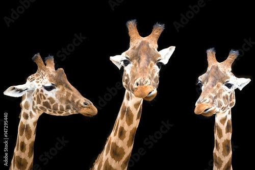 Foto  Giraffe trio