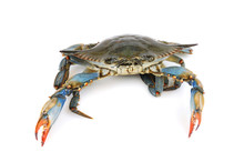 Live Blue Crab Isolated On Whi...