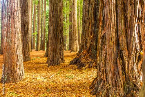 Foto op Plexiglas Landschappen redwood forest, sequioa trees