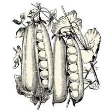 Vintage Vegetable Vector Design Element: Retro Illustration Of A Bunch Of Fresh Peas