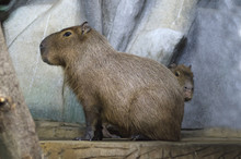 Capybara With Offspring