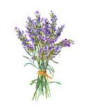 Kilka kwiatów lawendy. Akwarela - 147495840