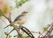 The Northern Mockingbird