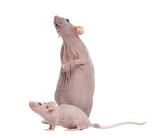 Hairlesss Rat And Hairless Hou...