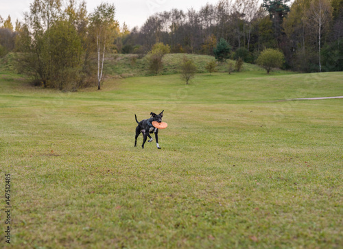 La pose en embrasure Equitation Black Dog is Playing. Try to Catch a Toy.