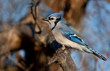 Blue jay perched on a branch in Canada