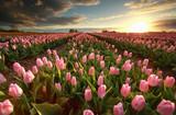 Fototapeta Tulipany - sunset over pink tulip field
