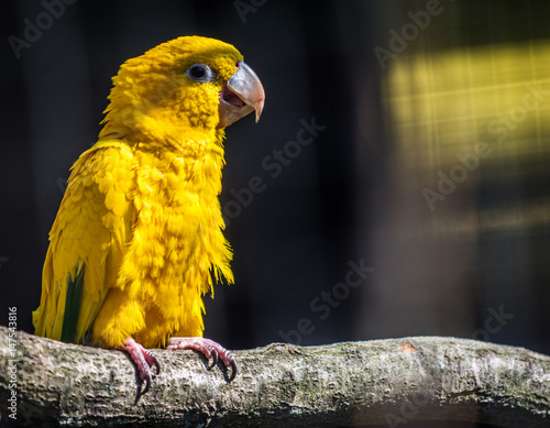 Stampa su Tela Parrot Golden parakeet