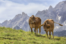 Two Cows In Alpine Meadow, Dolomites, Italy