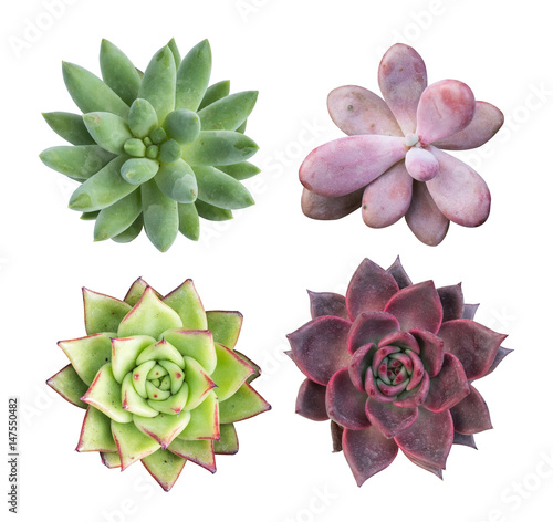 Fototapeta collection of succulent top isolated on white background