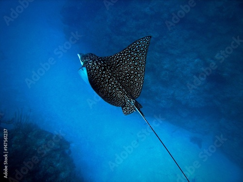 Eagle Ray, Ambergris Caye, Belize Wallpaper Mural