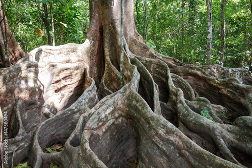 A giant tree with buttress roots in the forest, Costa Rica Tapéta, Fotótapéta