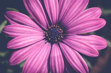 Purple Cape Marguerite Flower, Dimorphotheca Ecklonis