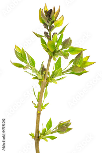 Fototapety, obrazy: Green branch, young sprouts with leaves, isolated on white background. Close-up.