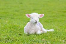 Small Cute Lamb Gambolling In ...