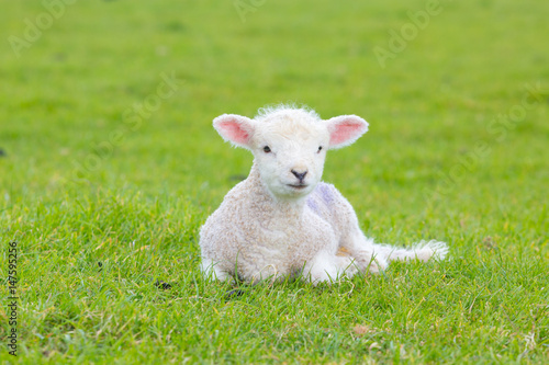 Leinwand Poster Small cute lamb gambolling in a meadow in England farm