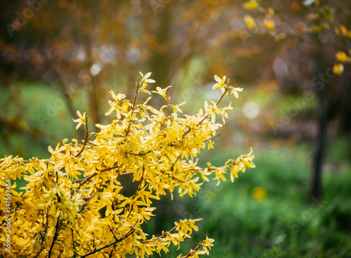 Fotomural Forsythia flowers in front of with green grass and blue sky