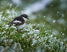 European Pied Flycatcher In Snow