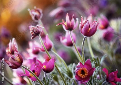 Obraz Wiosenne kwiaty, kwitnące sasanki - fototapety do salonu