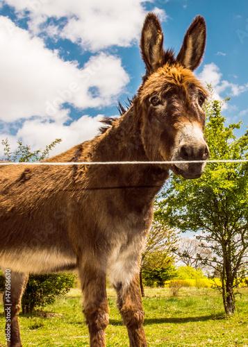 Deurstickers Ezel Ein junger Haus-Esel lebt auf einer Weide und der gelb blühende Raps leuchtet.