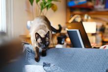 Portrait Of A Siamese Cat Sitt...