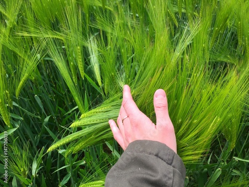 Fotografie, Obraz  mano natura grano