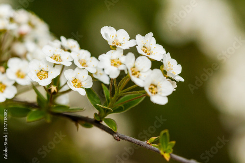 Macro bush of small white flowers on a branch buy this stock photo macro bush of small white flowers on a branch mightylinksfo