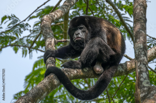 Male of howler monkey sits on the trees branch in the wild forest Canvas-taulu