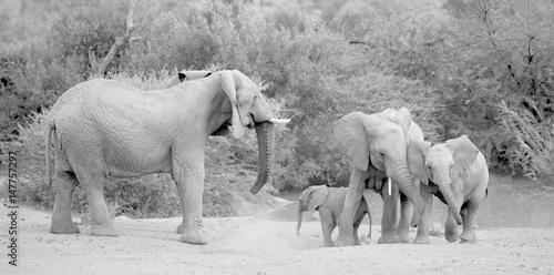 Poster Zebra Elephant herd