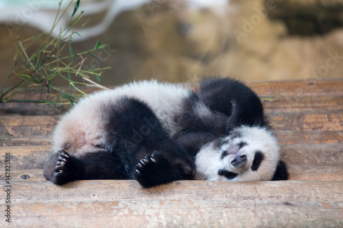 Foto op Canvas Panda baby panda is sleeping on his back