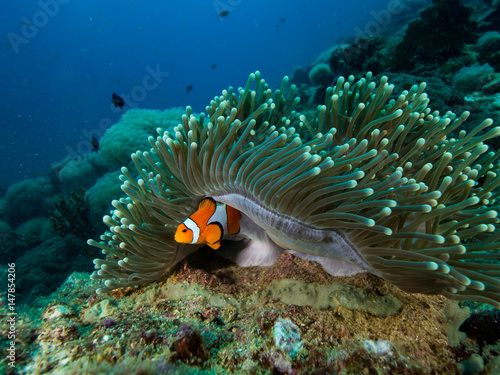 Clownfish hiding under the mantle of its anemomone Fototapeta