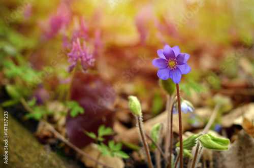 Photo  Blue wildflower Hepatica nobilis growing in the forest, sunny