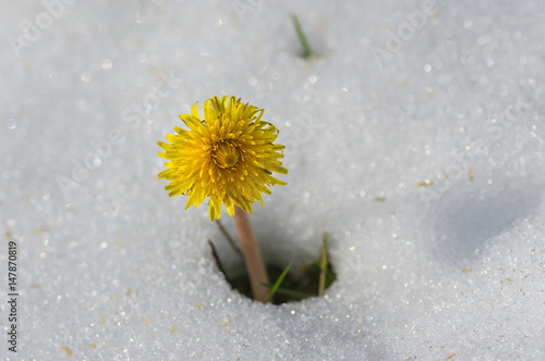 Fényképezés  Lonely dandelion appearing from snow after unexpected snowfall in Dnepr city, Uk