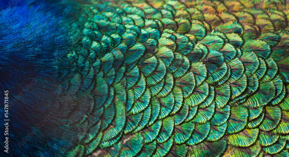 Fototapety, obrazy: Patterns and colors of peacock feathers.