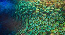 Patterns And Colors Of Peacock...