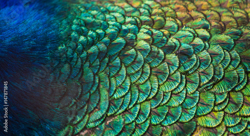 Macro photographie Patterns and colors of peacock feathers.