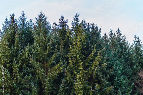 Acrylic Prints Forest Forest of evergreen coniferous trees
