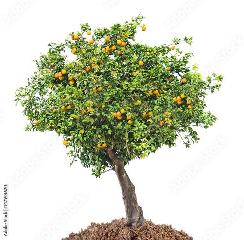 citrus tree on white background