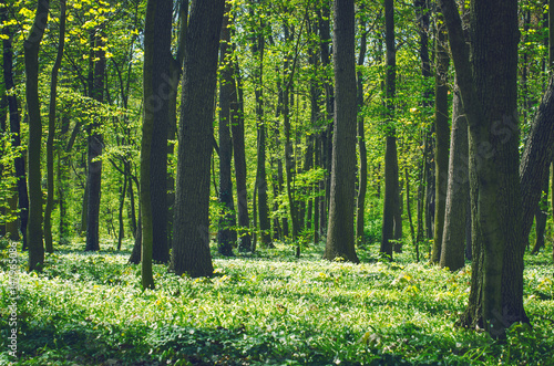 Garden Poster Forest Decidious forest. Nature in spring time