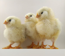 French Breed Chick Trio Called Salmon Faverolles