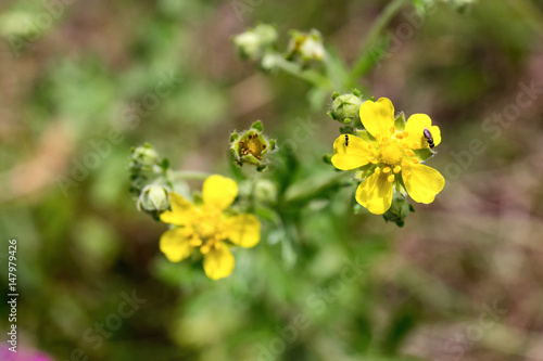 Valokuva  Flowers of silvery cinquefoil (Potentilla argentea) on a summer meadow