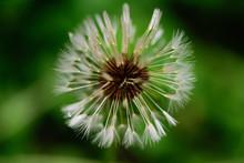 Dandelion. Blowball. Close Up,...
